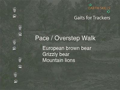 Pace/Overstep Walk - European Brown Bear, Grizzly Bear, Mountain Lions
